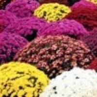 crysantheme